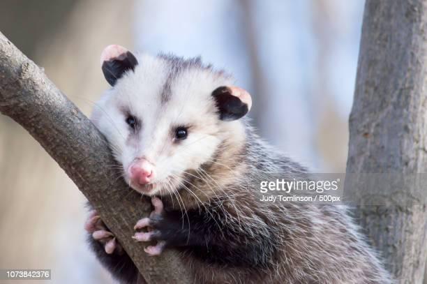 portrait of a possum - opossum americano foto e immagini stock