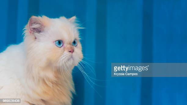 Portrait of a Pretty Cream Point Himalayan Cat, copy space