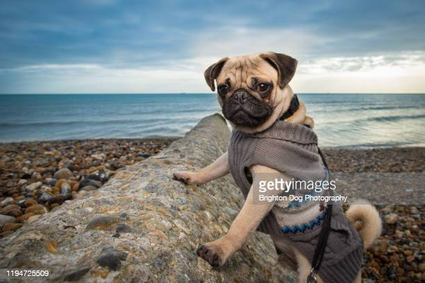 portrait of a pug at the beach - paw stock pictures, royalty-free photos & images