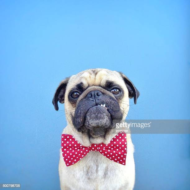 portrait of a pug dog wearing bow tie - bow tie stock pictures, royalty-free photos & images