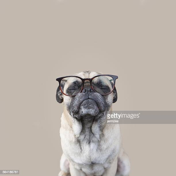 Portrait of a pug dog wearing glasses