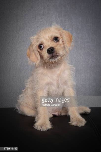 portrait of a pug x cavalier king charles spaniel puppy looking at the camera on a gray background - cavalier king charles spaniel stock pictures, royalty-free photos & images