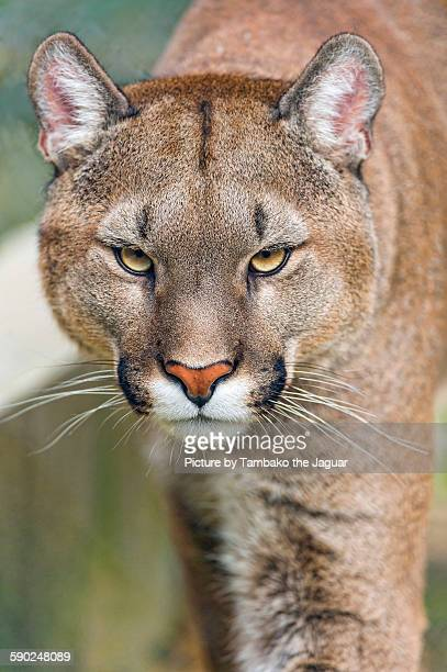 Portrait of a puma approaching