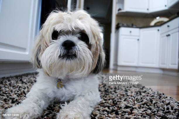 portrait of a puppy - lhasa apso stock photos and pictures