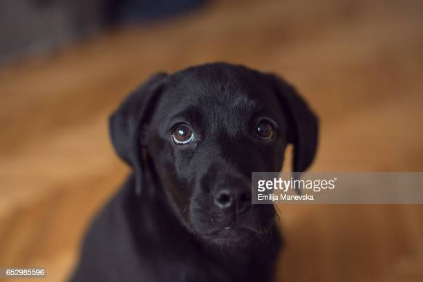 portrait of a puppy with sad look - black labrador stock pictures, royalty-free photos & images