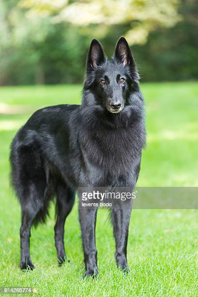 portrait of a purebred belgian sheepdog groenendael - hungary vs belgium stock photos and pictures