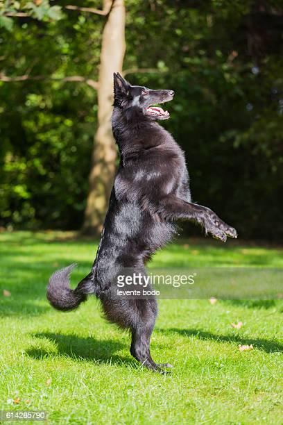 Portrait of a purebred belgian sheepdog groenendael