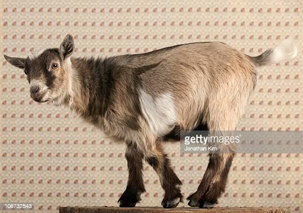 Portrait of a pygmy goat.