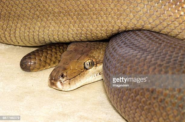 Portrait of a python, Australia
