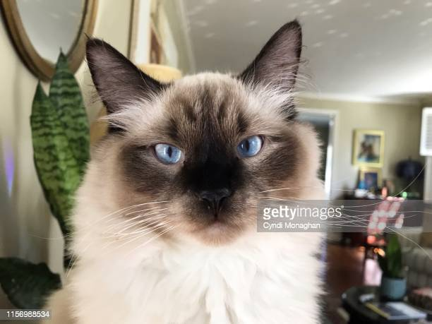 portrait of a ragdoll cat with blue eyes - ragdoll cat stock pictures, royalty-free photos & images