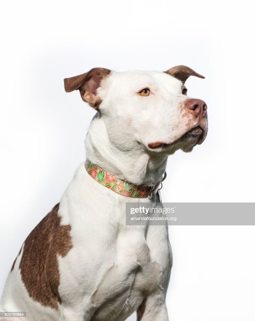 Side-view shot of 'Jersey,' a male Pitbull looking away on a white background. By using this photo, you are supporting the Amanda Foundation, a nonprofit organization that is dedicated to helping homeless animals find permanent loving homes.