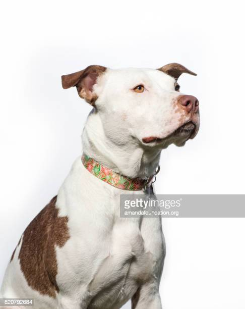 portrait of a red and white pitbull - the amanda collection - amandafoundationcollection stock pictures, royalty-free photos & images