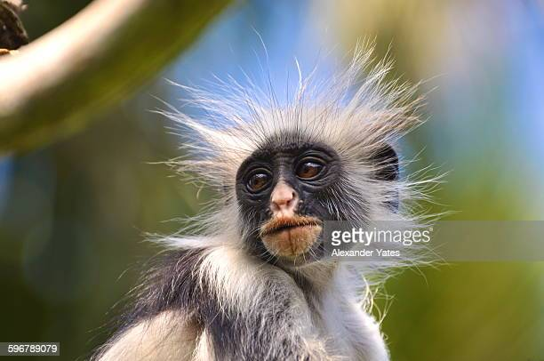 Portrait of a Red Colobus Monkey