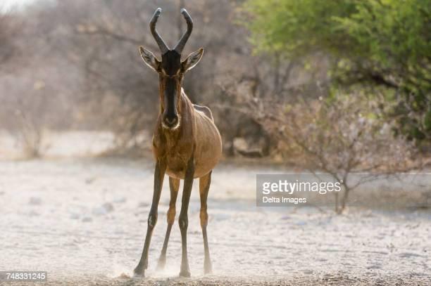Portrait of a Red hartebeest (Alcelaphus buselaphus), Kalahari, Botswana, Africa