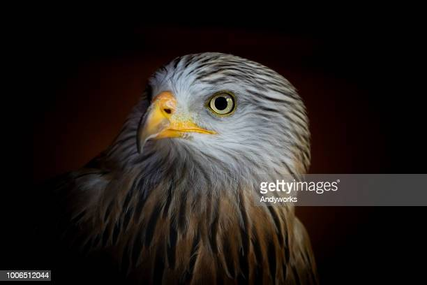 portrait of a red kite (milvus milvus) - carnivora stock photos and pictures