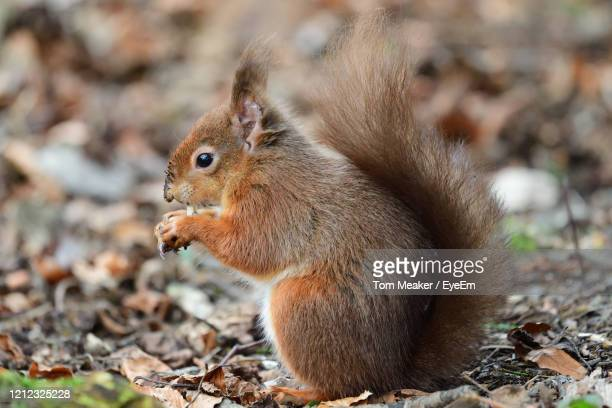 portrait of a red squirrel eating a nut - dorset uk stock pictures, royalty-free photos & images