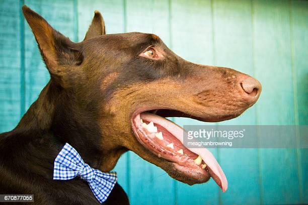 portrait of a red warlock doberman pinscher dog - red warlock doberman pinscher stock pictures, royalty-free photos & images