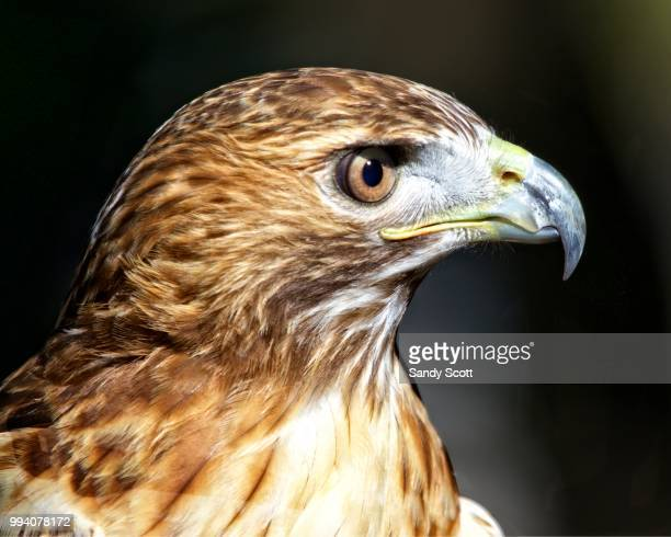 portrait of a red-tailed hawk - red tailed hawk stock photos and pictures