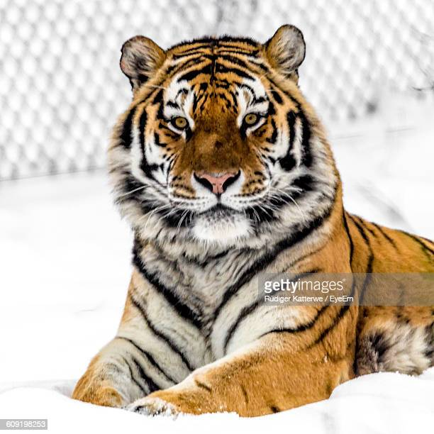 Portrait Of A Relaxed Siberian Tiger On Snow