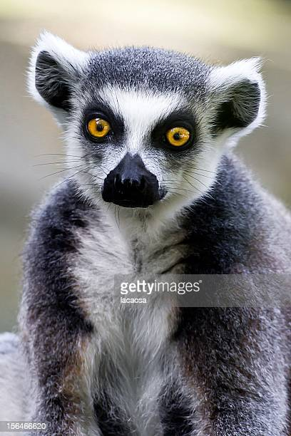 Portrait of a Ring Tailed Lemur