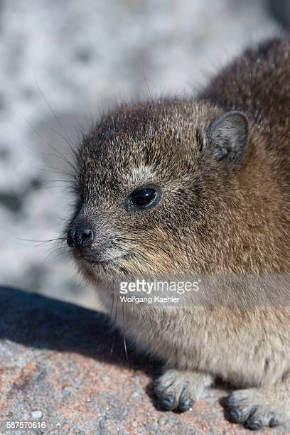 Portrait of a Rock hyrax or dassie which is warming up in the morning sunshine on top of Table Mountain in Cape Town South Africa