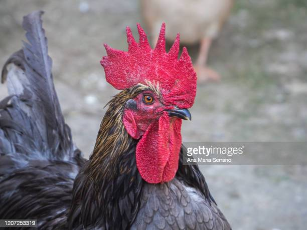 portrait of a rooster in an ecological farm - cockerel stock pictures, royalty-free photos & images