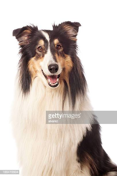 portrait of a rough collie - collie stock photos and pictures
