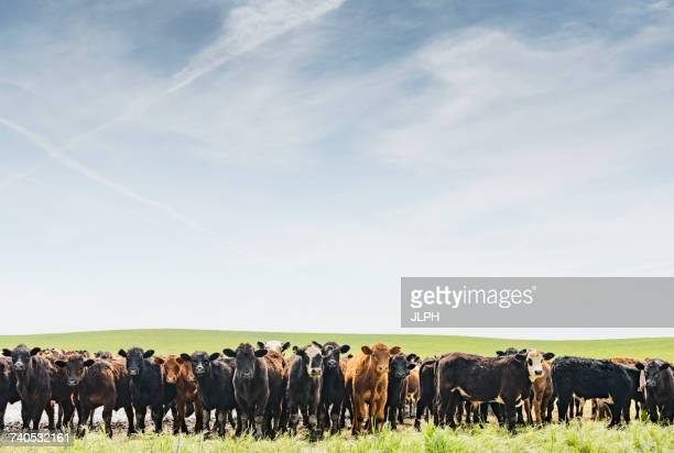 Portrait of a row of cows in field landscape