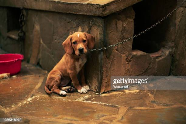 portrait of a sad puppy tied - abandoned stock pictures, royalty-free photos & images