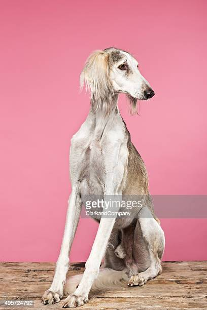 60 Top Saluki Pictures, Photos and Images - Getty Images
