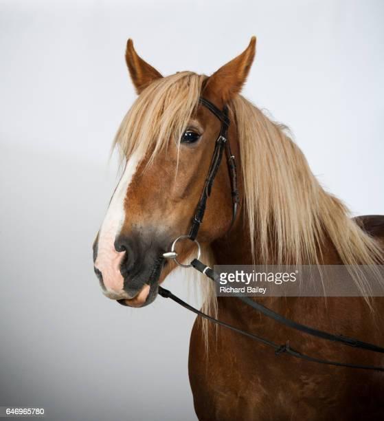 portrait of a schleswig coldblood horse. - paard paardachtigen stockfoto's en -beelden