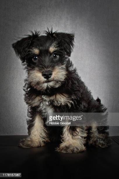 portrait of a schnauzer looking at the camera on a gray background - vertebrate stock pictures, royalty-free photos & images