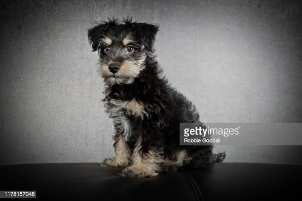 portrait of a schnauzer looking away from the camera on a gray background - schnauzer stock pictures, royalty-free photos & images