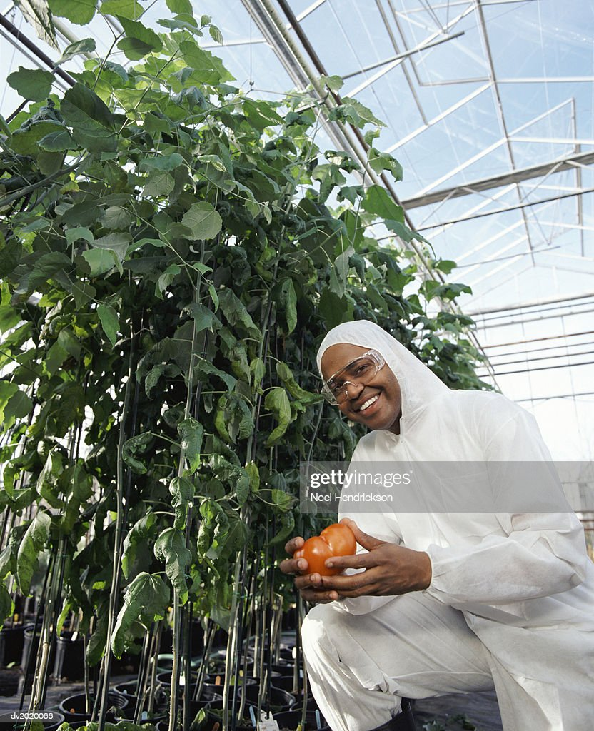 Portrait of a Scientist Wearing a Clean Suit and Holding a Tomato, in a Greenhouse : Stock Photo