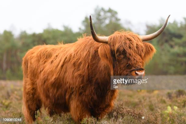 """portrait of a scottish highland cattle in a nature reserve - """"sjoerd van der wal"""" or """"sjo"""" stock pictures, royalty-free photos & images"""