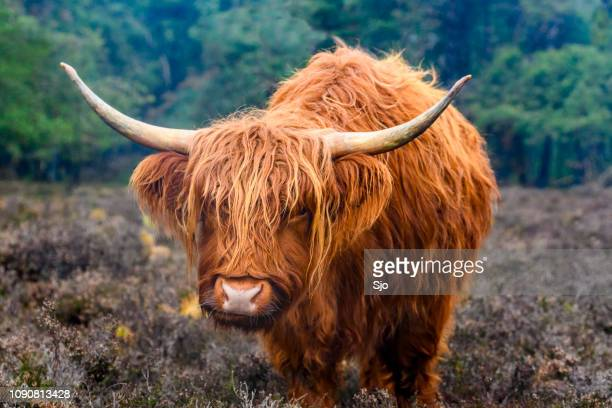 portrait of a scottish highland cattle in a nature reserve - bull stock pictures, royalty-free photos & images