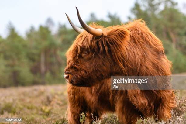"portrait of a scottish highland cattle in a nature reserve - ""sjoerd van der wal"" or ""sjo"" stock pictures, royalty-free photos & images"