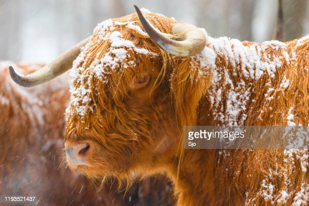 "portrait of a scottish highland cattle in the snow - ""sjoerd van der wal"" or ""sjo"" stock pictures, royalty-free photos & images"