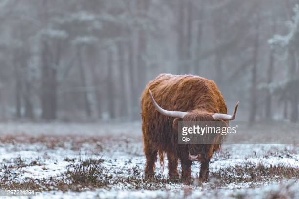 """portrait of a scottish highland cattle in the snow - """"sjoerd van der wal"""" or """"sjo"""" stock pictures, royalty-free photos & images"""