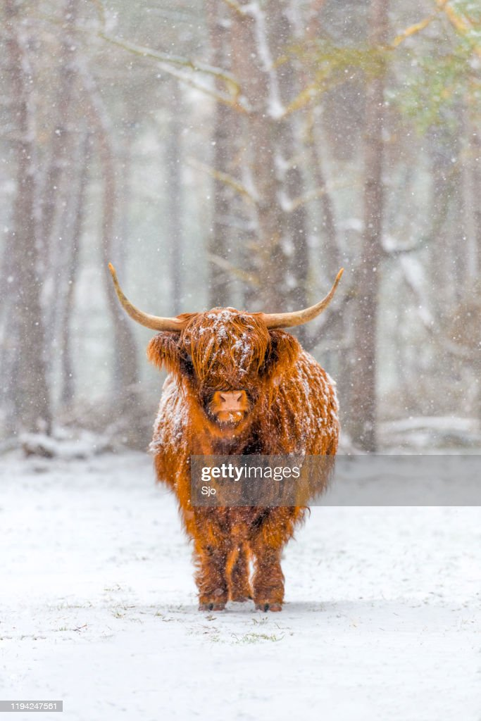 Portrait of a Scottish Highland cow in the snow : Stock Photo