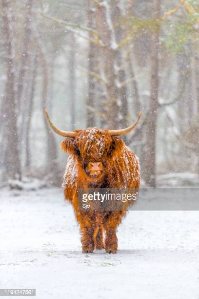 "portrait of a scottish highland cow in the snow - ""sjoerd van der wal"" or ""sjo"" stock pictures, royalty-free photos & images"