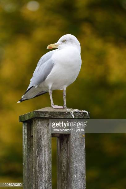 portrait of a seagull perched on a wooden post - taunton somerset stock pictures, royalty-free photos & images