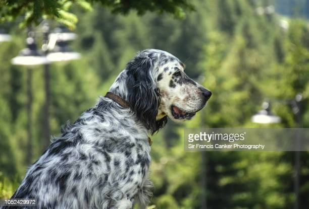 portrait of a senior purebred female english setter in alpine forest setting in france - animal body part stock pictures, royalty-free photos & images