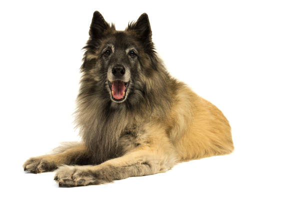 Portrait of a senior tervueren shepherd dog lying down facing the camera isolated on a white background