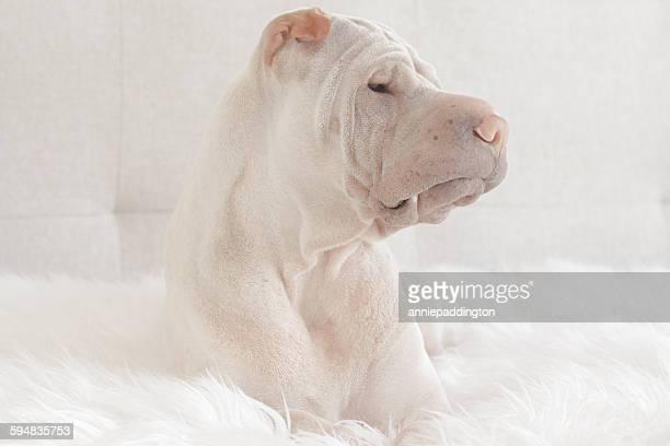 Portrait of a Shar Pei dog lying on a rug