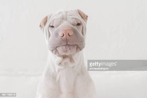 Portrait of a shar pei dog