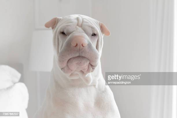 Portrait of a shar-pei dog