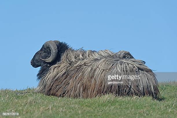 Portrait of a sheep lying on the grass, Helgoland, Germany
