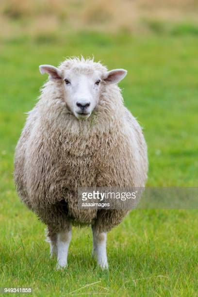 portrait of a sheep on grass looking at camera,New Zealand