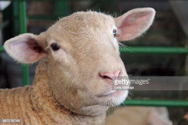 Portrait of a sheep!